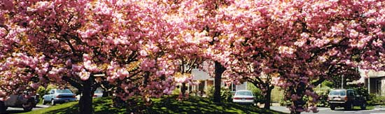 Pink flowering trees in full bloom.
