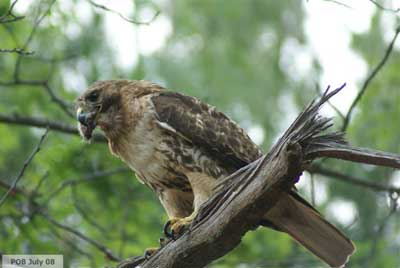 Hawk in tree with mouse in its beak.