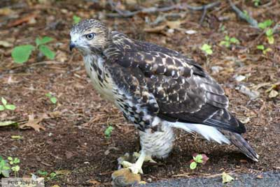 Hawk on ground with chipmunk in its talons