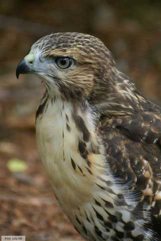 Closeup of hawk