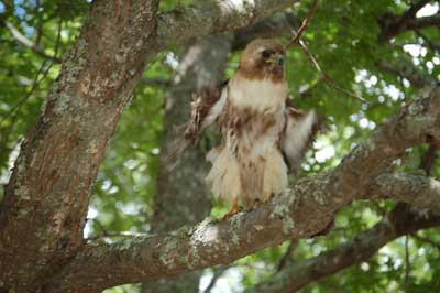 Young red tail hawk on tree branch testing its wings.