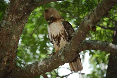 Young red tail hawk on tree branch.