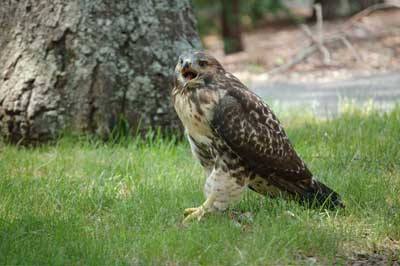 Red tail hawk standing on ground near tree with its beak open