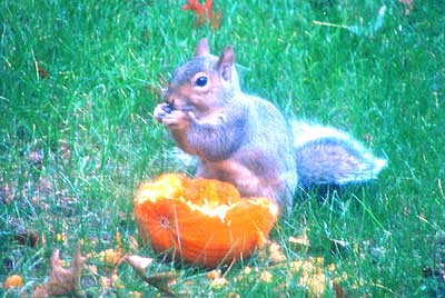 Squirrel enjoying a pumpkin at Falmouthport