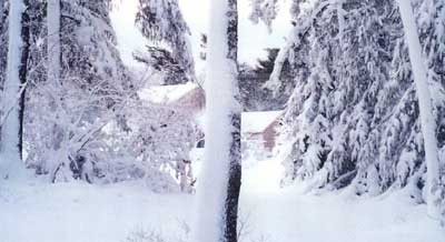 Snow covered trees with bent branches and house in distance.