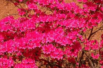 Colorful bush heralds spring at Falmouthport.