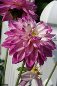 Purple Dahlia at Falmouthport.