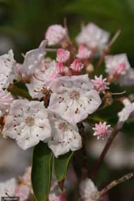 White and pink Mountain Laurel